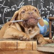 French Mastiff puppy chewing a pencil — Stock Photo