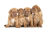 Four French Mastiff puppies over white — Stock Photo
