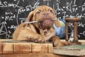 French Mastiff puppy chewing a pencil — Stok fotoğraf