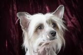 Portrait of a purebred Hairless Chinese Crested dog — Stock Photo