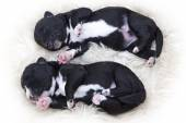 Newborn puppies, one week old — Stock Photo