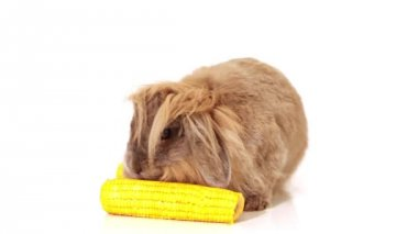 Rabbit with yellow corn on white — Stock Video
