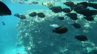 Variety of fish in tropical waters of Egypt, Red Sea — Stockvideo