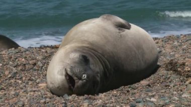 Argentinean fur seal lying on the coastline — Stock Video
