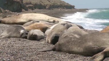 Seal rookery on the coastline. The South of Argentina — Stock Video