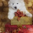 One month old Samoyed puppy dog with Christmas gifts — Stock Photo #68768303