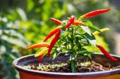 Organic homegrown chili peppers (shallow dof) — Stock Photo