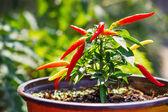Organic homegrown chili peppers (shallow dof) — Stock Photo