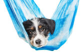 Cute 1 month old wire haired jack russell mix puppy against white background — Photo