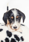 Cute 1 month old wire haired jack russell mix puppy against white background — Stockfoto