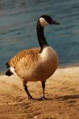 Wild goose — Stock Photo