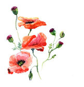The poppy watercolor isolated — Foto de Stock