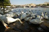 Swan in Prague. — Stock Photo