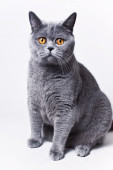 Portrait of young short-haired British gray cat — Stock Photo