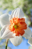 White with orange daffodil  — Photo