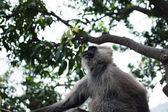 Mono langur hanuman en el árbol — Foto de Stock