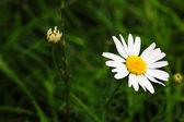 White daisie — Stock Photo
