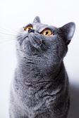 British gray cat  — Stock Photo