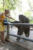 Woman feeding elephant  — Stock Photo