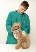 Vet and toy poodle — Stock Photo