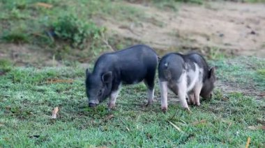 Vietnamese Potbelly Piglets — Stock Video