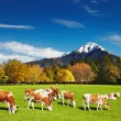 Grazing cows — Stock Photo #53432087