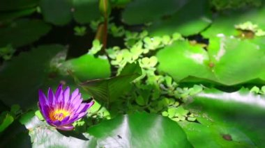 Water Lily Flower — Stock Video