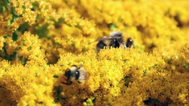 Bumblebees  on flowers — Stock Video