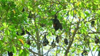 Flying foxes — Stock Video