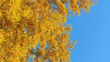 Autumn leaves — Stock Video