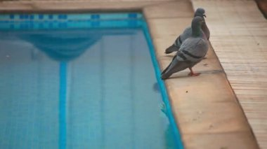 Pigeons at pool — Stock Video