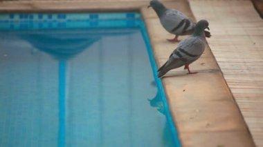 Pigeons at pool — Stockvideo