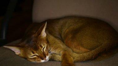 Sleeping cat — Stock Video