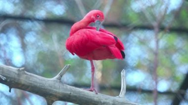 Scarlet ibis (Eudocimus ruber) — Stock Video