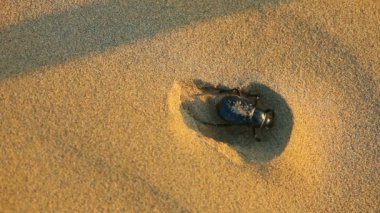 Scarab beetle — Stock Video