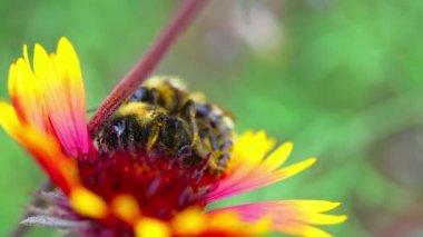 Bumblebees. — Stock Video