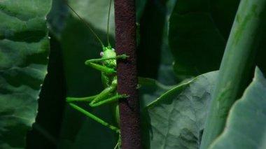 Green locust — Stock Video