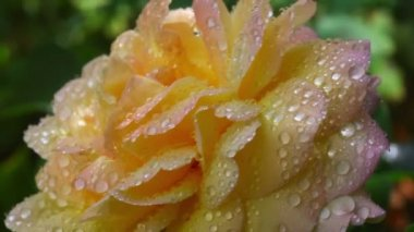 Wet rose — Stock Video