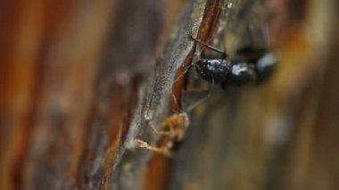 Black Ant — Stock Video