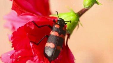 Beetle — Stock Video