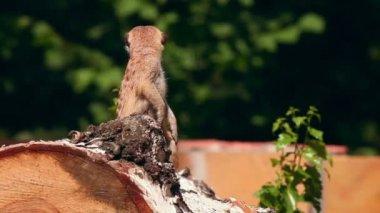 Meerkat. — Stock Video