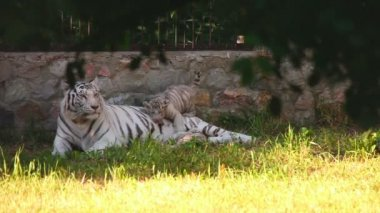 White tigress — Stock Video