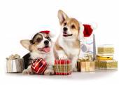 Dog in a Santa Claus hat and present — Stock Photo