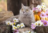 British cat in and flowers — Stock Photo