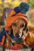 Dog  dachshund knitted hat and scarf — Stock Photo