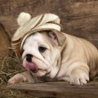 English Bulldog puppies in retro hat — Stock Photo #56189965