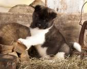 American akita puppy — Stock Photo