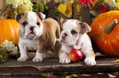 Bulldogs puppies and  pumpkin — Stock Photo