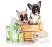 French  bulldog puppy in wooden wash — Stock Photo