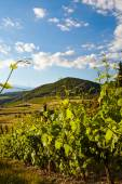 Vine plants and hills — Foto Stock